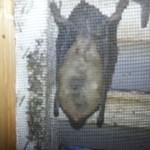 Charlotte Bats in Attic